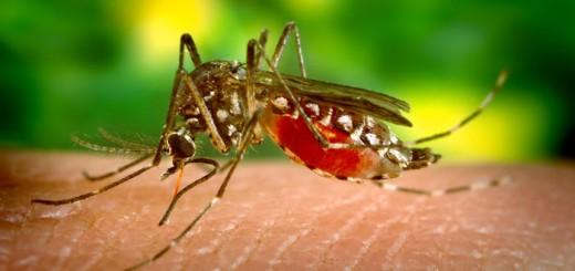 Aedes aegypti, az Egyiptomi csípőszúnyog