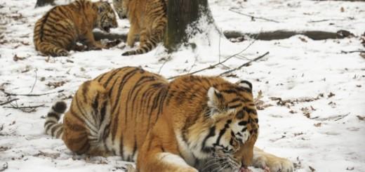Szibériai tigrisek az állatkertben