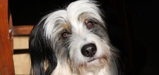 figyelő kutya