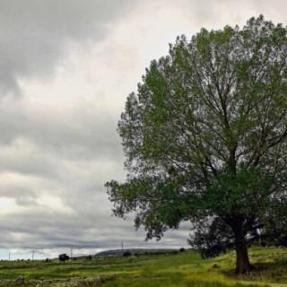 év fája 2016,Mezei szil