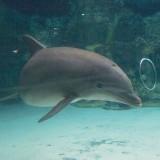delfin,buborékkal játszik